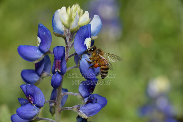 Honey Bee (Apis mellifera), adult feeding on flower, Hill Country, Texas, USA