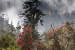 Rhododendron in bloom in the forests of Paro Valley, Bhutan