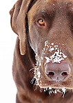 chocolate labrador in the snow