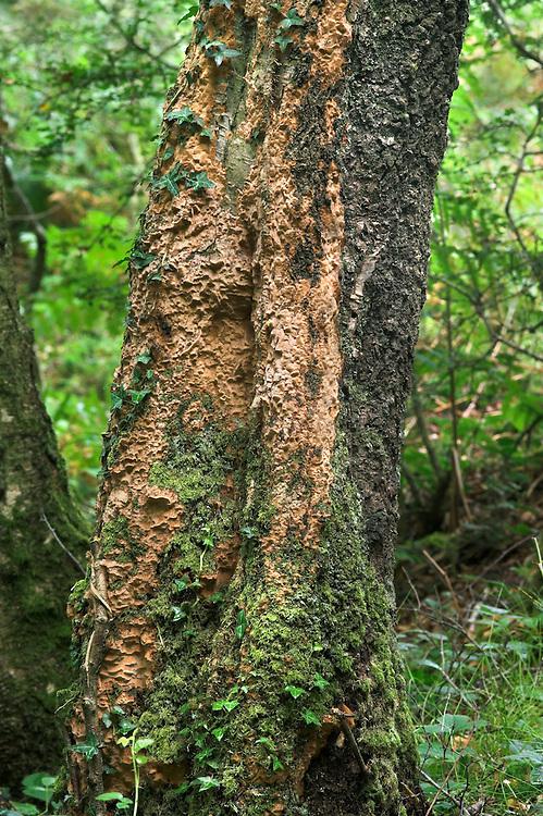 Phellinus ferreus