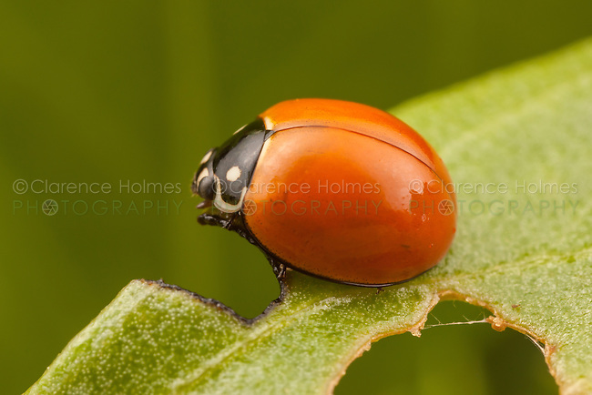 Spotless Lady Beetle (Cycloneda sanguinea) perched on a leaf.