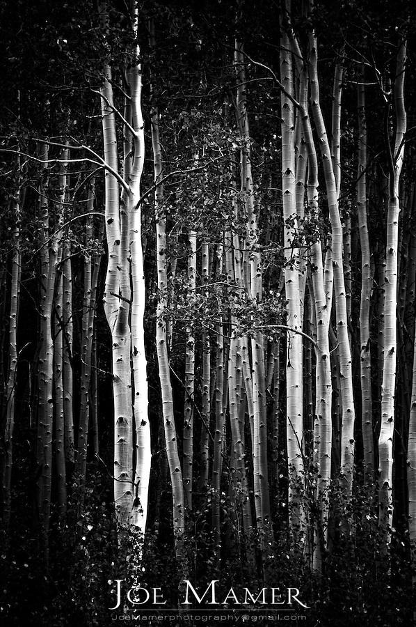 Aspen grove in the Maroon Bells Scenic Area near Aspen, Colorado.