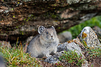 Young American pika (Ochotona princeps).  Beartooth Mountains, Wyoming/Montana border.  Summer.  This photo was taken in alpine setting at around 11,000 feet (3350 meters) elevation.