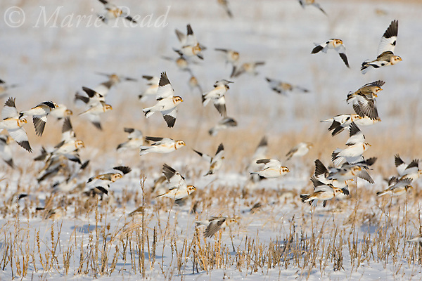 Snow Buntings (Plectrophenax nivalis) flock in flight over snow-covered field, Ithaca, New York, USA