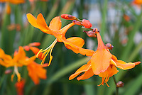 Crocosmia 'Star of the East' in orange flowers, AGM, George Davison hybrid from 1910