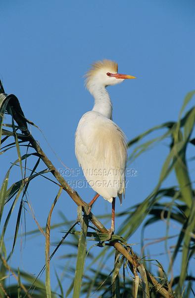 Cattle Egret, Bubulcus ibis, adult breeding plumage, Welder Wildlife Refuge, Sinton, Texas, USA, June 2005
