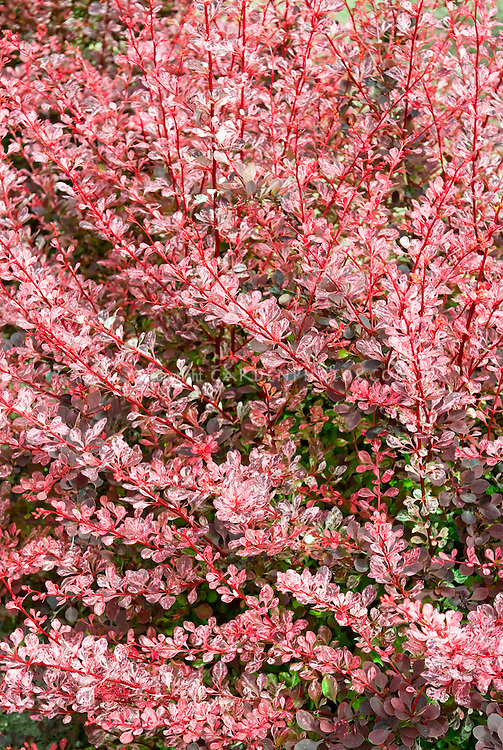 Berberis thunbergii 'Pink Queen' variegated barberry shrub