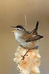 Marsh Wren singing on cattail
