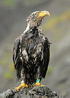 A young bald eagle getting thoroughly soaked at Third Beach, Olympic National Park.