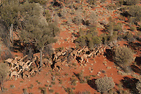 Wild Camels in the Australian desert, aerial,  Central Australia, Northern Territory, Australia.