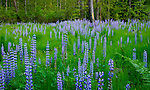 Idaho, North, Sagle. A forest meadow of lupine in bloom in late spring.