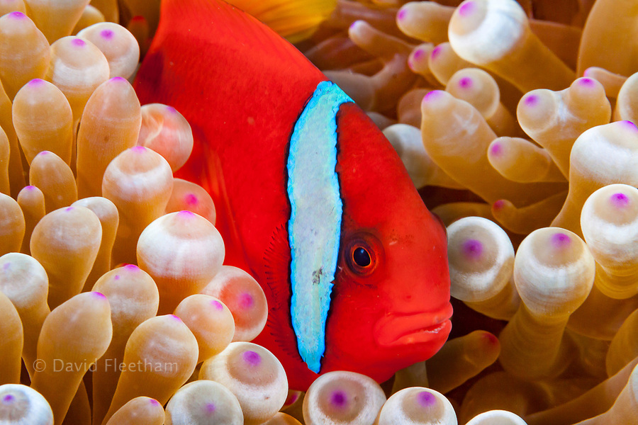 A bridled anemonefish, Amphiprion frenatus, in bulb-tenacle sea anemone, Entacmaea quadricolor, Philippines.