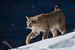 Wild bobcat. Yellowstone National Park, Wyoming.