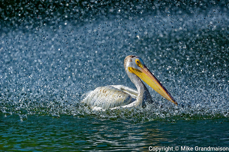 American white pelican (Pelecanus erythrorhynchos) in man-made pond by the fountain<br /> Winnipeg<br /> Manitoba<br /> Canada