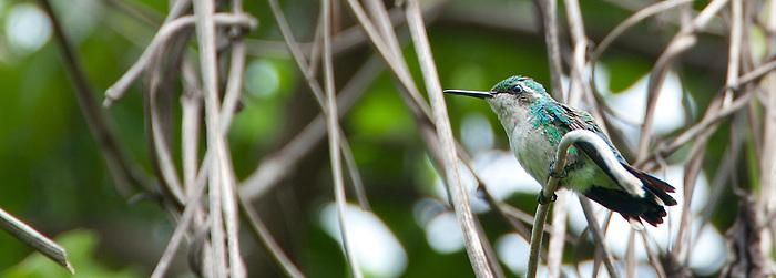 Esmeralda Jardinera (hembra) / colibríes de Panamá.<br /> <br /> Garden Emerald (female) / hummingbirds of Panama.<br /> <br /> Chlorostilbon assimilis.<br /> <br /> EDICIÓN LIMITADA / LIMITED EDITION (25)