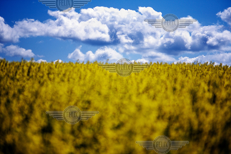 Clouds over a cole seed field in an agrarian sector of former West Prussia.