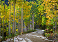 Gunnison National Forest, Colorado:  Morning sun on a winding gravel road through an autumn colored aspen (Populus tremuloides) grove