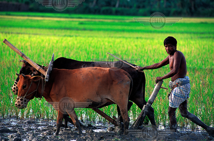 Farmer ploughs his paddy field with cattle.  On average a farmer travels 80 kms in ploughing a one-hectare field.
