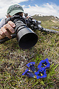 Photographer focusing on a Trumpet / Stemless Gentian {Gentiana acaulis} Nordtirol, Austrian Alps. June.
