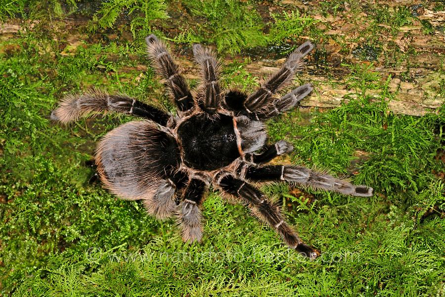 Kraushaar-Vogelspinne, Kraushaarvogelspinne, Brachypelma albopilosa, curlyhair tarantula, Vogelspinne, Vogelspinnen, Theraphosidae, Aviculariidae, Tarantulas