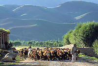 Shepherd with his cows herd