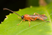 Ichneumon Wasp (Theronia hilaris) - Male, West Harrison, Westchester County, New York