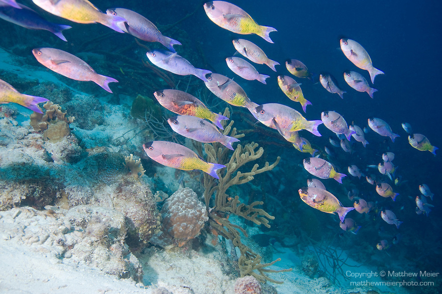 Bonaire, Netherlands Antilles; a polarized school of Creole Wrasse (Clepticus parrae) fish swims by the coral reef, there was a constant stream of fish going by for over 20 minutes