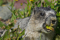 Hoary Marmot (Marmota caligata) eating plant leaf.  Western U.S., Sept.