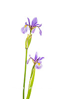 30099-00417 Blue Flag Irises (Iris versicolor) (high key white background) Marion Co. IL