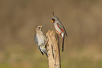 Pyrrhuloxia (Cardinalis sinuatus), male and Golden-fronted Woodpecker (Melanerpes aurifrons) perched, Starr County, Rio Grande Valley, South Texas, USA