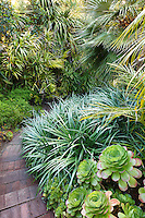Path through tropical foliage California garden with Palms, bromeliad groundcover (Fascicularia bicolor), and Aeonium succulents