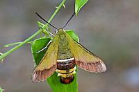 Olivgrüner Hummelschwärmer, Kroatischer Hummelschwärmer, Hemaris croatica, Hemaris croaticus, Olive Bee Hawk-moth, Le Macroglosse de Croatie, Schwärmer, Sphingidae, hawkmoths, hawk moths, sphinx moths