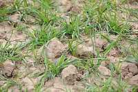Winter wheat plants - Licolnshire, March