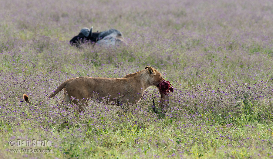 A female Lion, Panthera leo  melanochaita, carries the remains of a Thomson's Gazelle, Eudorcus thomsonii, in Ngorongoro Crater, Ngorongoro Conservation Area, Tanzania. In the background is a Cape Buffalo, Syncerus caffer.