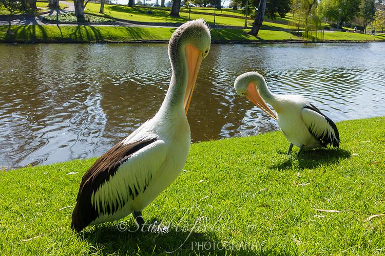 Australian Pelican (Pelecanus conspicillatus), pair preening on a river bank in Adelaide, Australia.