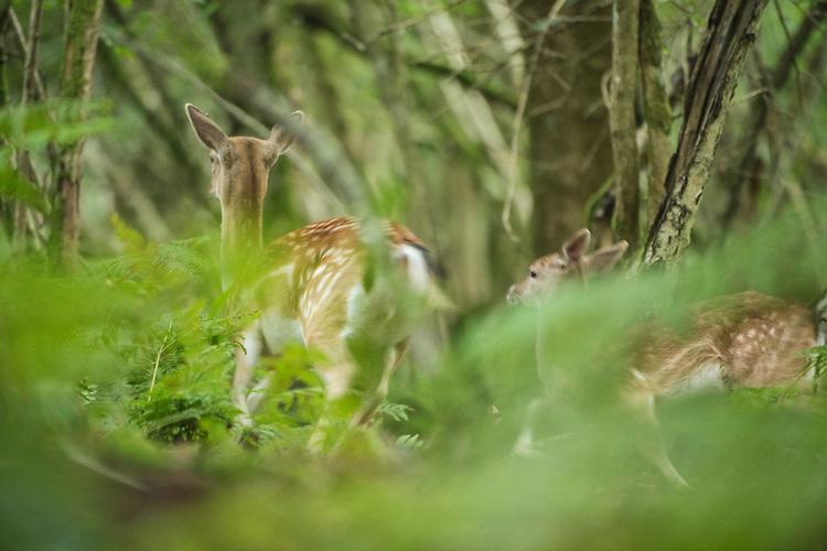 Fallow deer, Dama Dama in High Weald woodland. Wakehurst Place - Royal Botanic Gardens, Kew. Ardingly, West Sussex, UK.