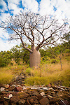 Boab tree at Raft Point, Kimberley Coast, Australia