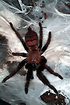 Tarantula Spider, Indian Chevron, Chilobrachys fimbriatus, on silken web.India....
