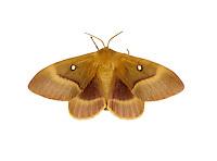 Oak Eggar - Lasiocampa quercus - female