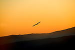 Griffon Vulture soaring silhouetted by sky at dusk