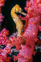 Jayakar's seahorse, Hippocampus jayakari, on Alcyonarian coral, Dendronephthya sp, Eilat, Israel, Red Sea, Indian Ocean