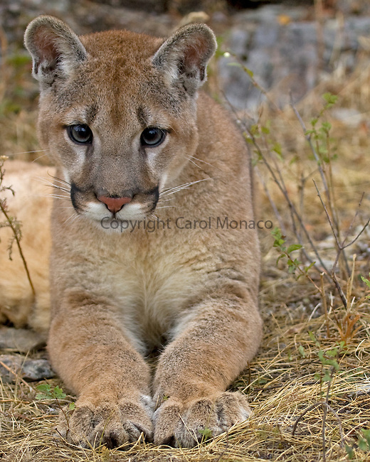 Close-up of a mountain lion  Montana, United States