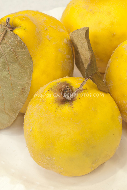 Cydonia oblonga Quince 'Meech's Prolific' autumn fruit