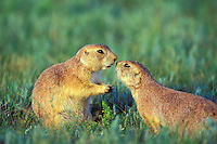 Black-tailed Prairie dogs greeting.