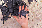 Baby sea turtles leaving nest, person holding one in hand, Galapagos Islands, crawling to water, hazardous part of journey, high mortality <br /> <br /> <br /> ocean oceanic young
