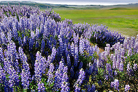 Interior Bush Lupine (Lupinus albifrons). Carrizo Plain. California