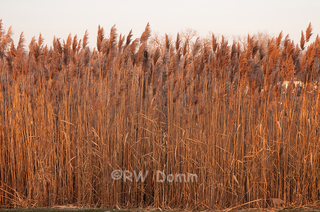 Phragmites in winter
