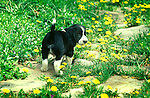 puppy with Spring dandilions, Boo