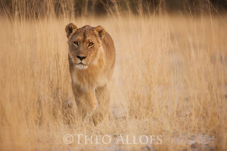 Botswana, Okavango Delta, Moremi Game Reserve,  lioness (Panthera leo) walking in dry grass savannah