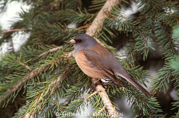 Dark-eyed Junco perched in a conifer.